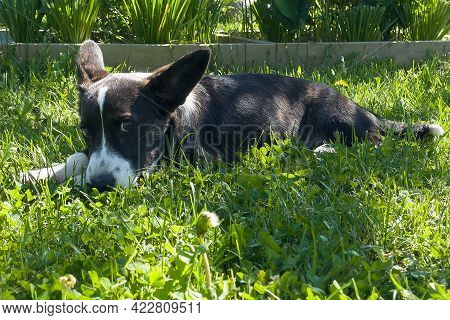 Puppy Welsh Corgi Cardigan Is Lying On The Grass. A Pet. A Beautiful Thoroughbred Dog. The Concept O