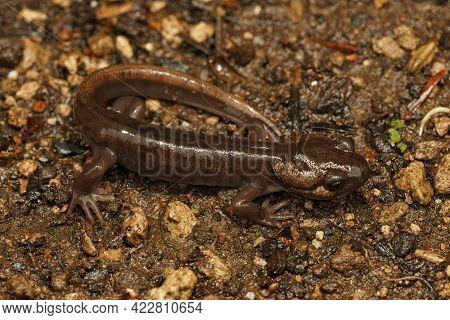 Closeup Of A Brown Juvenile Northwestern Salamander , Ambystoma Gracile On A Wed Springtime  Night I