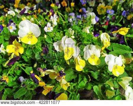 Mix Difference Colour Of Pansy Flower, Viola, Spring Flower