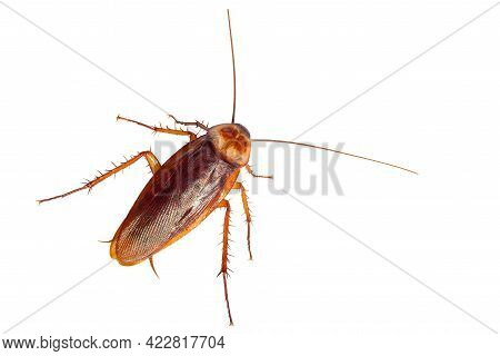 Cockroach Isolated On White Background, Top View.