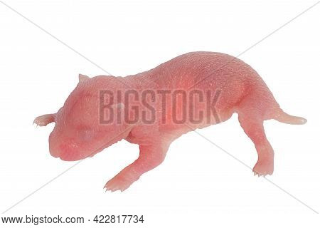 Newborn Small Roborovski Hamster Baby, Baby Hamster, Isolated  On  White Background.