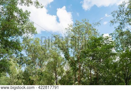 Trees, Low Angle View Of The Forest, Looking Up The Trees And Leaves From Low Angle View