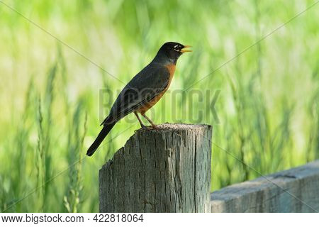 American Robin Bird Or Turdus Migratorius Perched On Wooden Fence Post