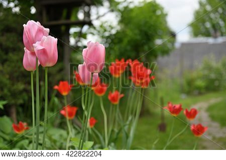 Tulip Flowers. Bright Sunny Colorful Tulips At Garden