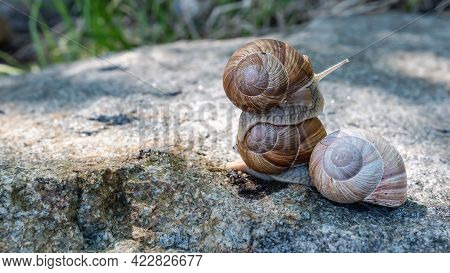 Snails On A Rock Where One Rides On The Other. The Picture Was Taken In The Swedish Archipelago Duri