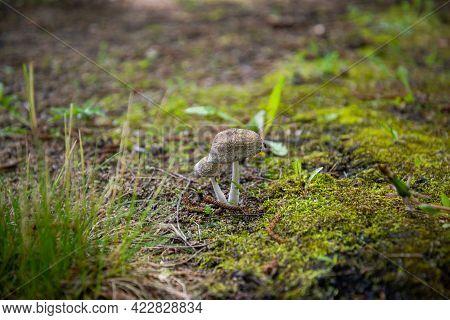 Ripe Mushroom In Green Grass Vintage Toned Photo. Summer Forest Scene. White Edible Mushroom Macroph
