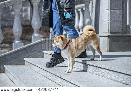 Adorable Red Shiba Inu Dog In A Red Collar Standing On The Steps Of A Stone Staircase Next To The Ow