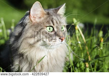 Cat In Nature. Close-up Of Cat's Face With Green Eyes In Profile. Portrait Of Gray Furry Pedigree Ca