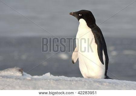 Adelie Penguin Standing On A Slope And Looking Into The Distance.