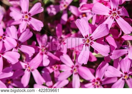 Background Of Pink Flowers Phlox Subulata, Creeping, Moss Pink Or Mountain Phlox In Spring
