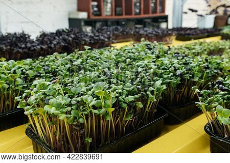 Edible Greens Or Shoots Growing, Placed On Home Balcony In Urban Flat. Microgreen Grown From The See