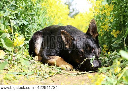 Beautiful Black German Shepherd Is Lying In The Track Of A Rape Seed Field