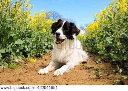 Beautiful Black And White Dog Is Lying In A Rape Seed Field