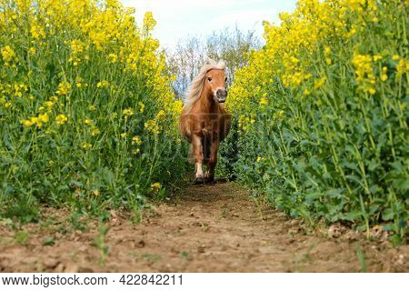 Little Haflinger Pony Runs In A Track In The Rapeseed Field