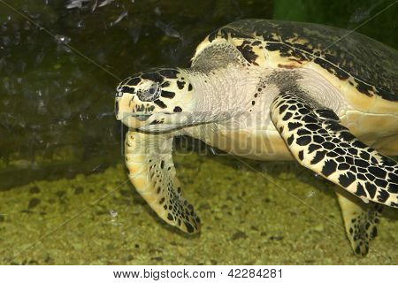 Hawksbill Sea Turtle Floating In A Glass Aquarium.