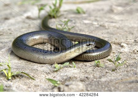 Legless Lizard Slow Worm Lying On The Sand On The Edge Of The Forest.