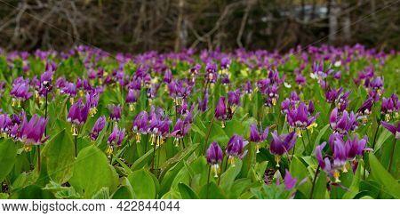 Russia. South Of Western Siberia, Kuznetsk Alatau. Thickets Of Blooming Spring Flowers (siberian Kan