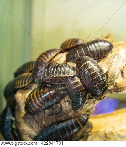 Princisia Vanwaerebeki (latin: Princisia Vanwaerebeki) Is A Striped Cockroach That Sits And Crawls O