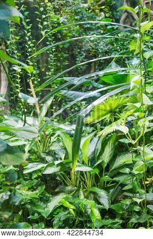 Dense Jungle Thickets With Bright Grass, Long Lianas On A Sunny Day. Nature Fauna Plants Subtropics