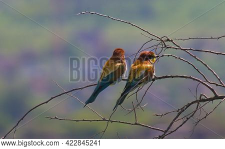 Two European Bee-eaters On A Tree. Wildlife Shot. European Bee-eater In Its Natural Habitat. Close-u