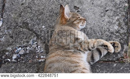 Sleeping Tabby Cat Head With Closed Eyes. Young Cat Purr And Stretch Cute Paws