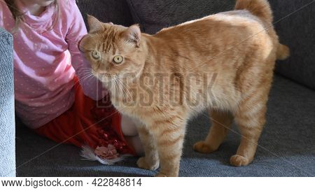 Selective Focus Toddler Girl Stroking Fluffy Ginger Cat With Ginger Eyes. Child Sit On Couch And Str