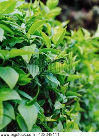Young Leaves On A Bush - Hedge Close-up