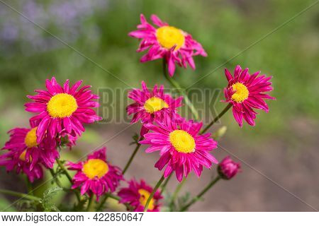 Macro Photography. Pink Daisy Flower. The Pink Pyrethrum, Or Persian Daisy (lat. Pyrethrum Roseum) I