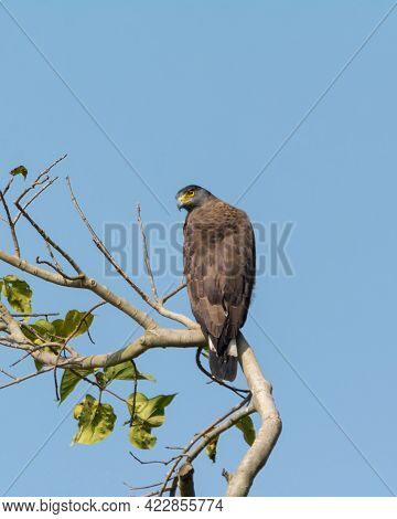 A Crested Serpent Eagle (spilornis Cheela), Perched Atop A Tree, Back-facing And Turing Around. Medi
