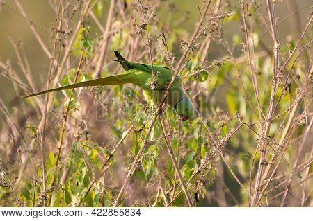 A Beautiful Green Colored Male Rose-ringed Parakeet (psittacula Krameri), Perched On Some Dead Veget