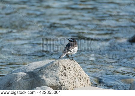 A White-browed Wagtail (motacilla Maderaspatensis), Perched On A Rock Near A River. Also Called The