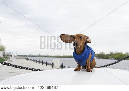 A Dachshund Dog Sits In A Blue Jacket On The Embankment Of The River And Its Ears Flutter In The Win