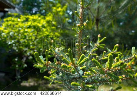 Young Shoots Of Blue Spruce. Spring Coniferous Background. Coniferous Branches Close-up.