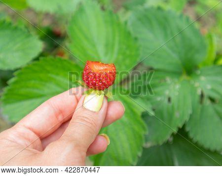 Ripe Fresh Bitten Strawberry Berries In Hand