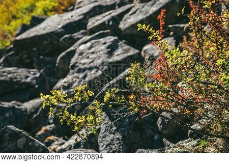 Scenic Nature Background With Autumn Leaves Of Caragana In Golden Sunlight. Beautiful Mountain Wild