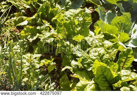 Beets Growing On Garden Beds In Vegetable Garden. Onions, Beets And Cabbage Growing Together. Close-