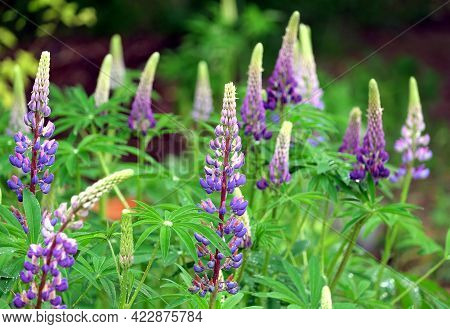 Cornflower Blue With Pink Lupines Flowers With Water Drops On Leaves On Bright Summer Day Outdoors O