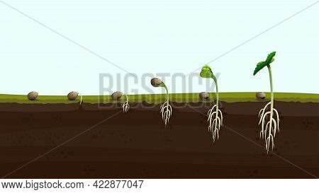 Stages Of Cannabis Seed Germination From Seed To Sprout, Realistic Illustration. Process Of Planting