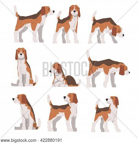 Small Beagle Dog Pet Animal In Different Poses Set, Hunting Dog With Brown White Coat And Long Ears