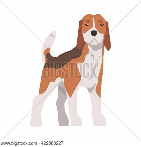 Front View Of Cute Small Beagle Dog Pet Animal, Hunting Dog With Brown White Coat And Long Ears Beag