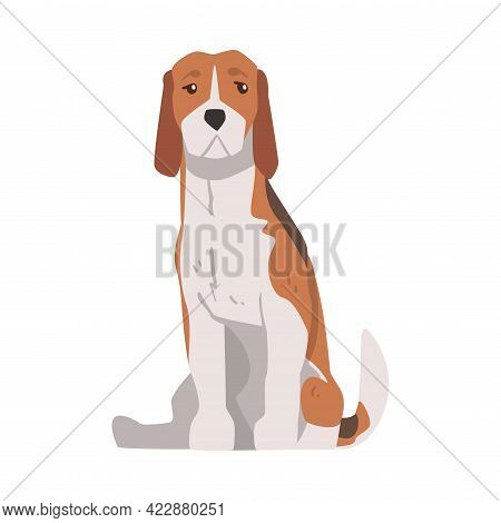 Sitting Beagle Dog Pet Animal, Hunting Dog With Brown White Coat And Long Ears Beagle Cartoon Vector