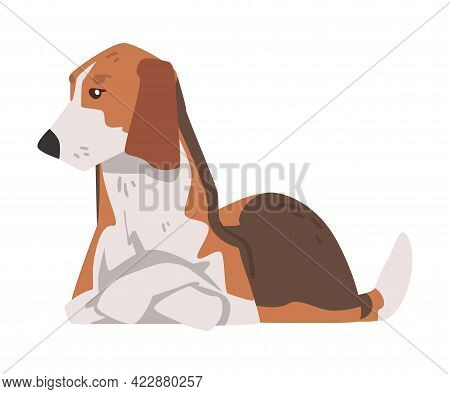 Lying Beagle Dog Pet Animal, Hunting Dog With Brown White Coat And Long Ears Beagle Cartoon Vector I