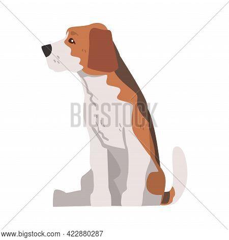 Cute Sitting Beagle Dog Pet Animal, Hunting Dog With Brown White Coat And Long Ears Beagle Cartoon V
