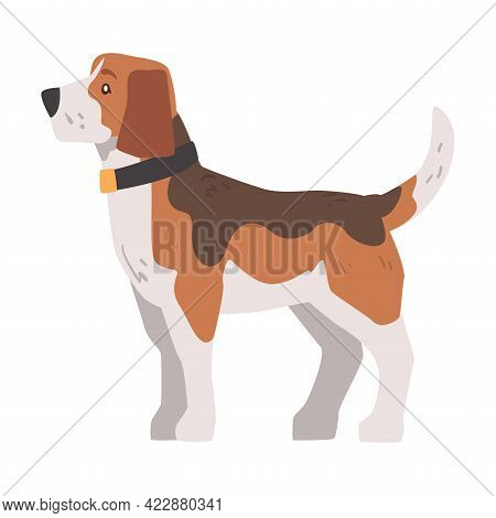 Side View Of Small Beagle Dog Pet Animal, Hunting Dog With Brown White Coat And Long Ears Beagle Car