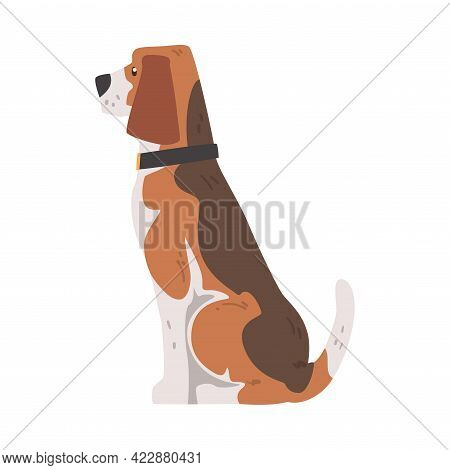 Side View Of Sitting Beagle Dog Pet Animal, Hunting Dog With Brown White Coat And Long Ears Beagle C