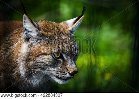 The Eurasian Lynx (lynx Lynx) Is A Medium-sized Wild Cat Widely Spread Throughout Eurasia,