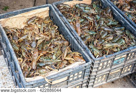 Fresh Live River Gray Crayfish In Plastic Crates. Fresh Uncooked Raw Crayfish At The Local Farmers M