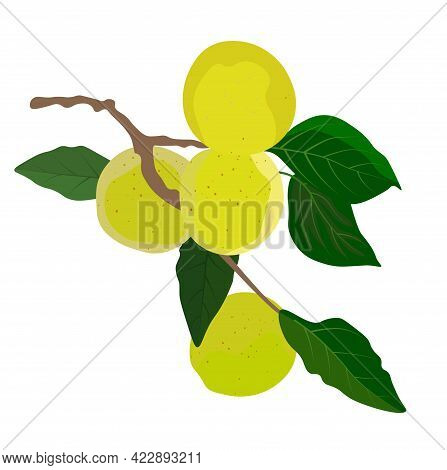 Vector Stock Illustration Of A Japanese Plum. Green Apricot On A Branch. Juicy Green Leaves Of A Pea