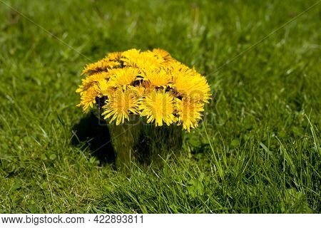 Dandelions Flowers In A Metallic Pot On The Grass. Summer Rime
