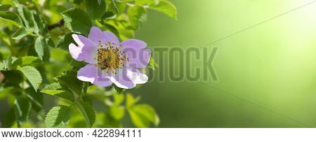 Wild Rose Flower. Rosehip Is A Wild Genus Of Plants Of The Rose Family. A Variety Of Dog Rose Is A R